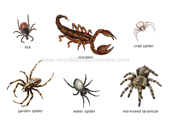 ANIMAL KINGDOM  INSECTS AND ARACHNIDS  EXAMPLES OF ARACHNIDS - examples of
