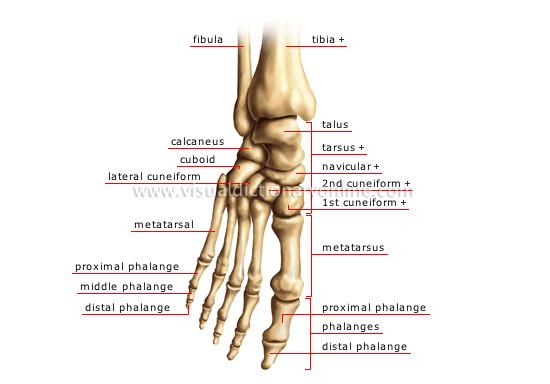 HUMAN BEING  ANATOMY  SKELETON  FOOT image - Visual Dictionary
