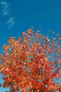 Orange Red Tree in front of a deep blue sky