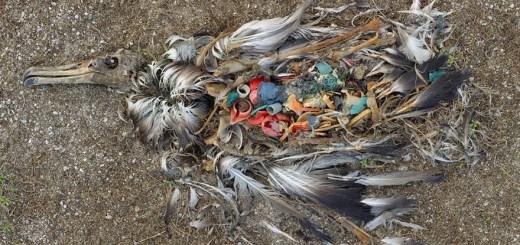 albatros morto