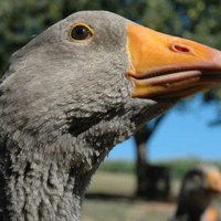 "Nel Périgord, patria del ""foie gras"""