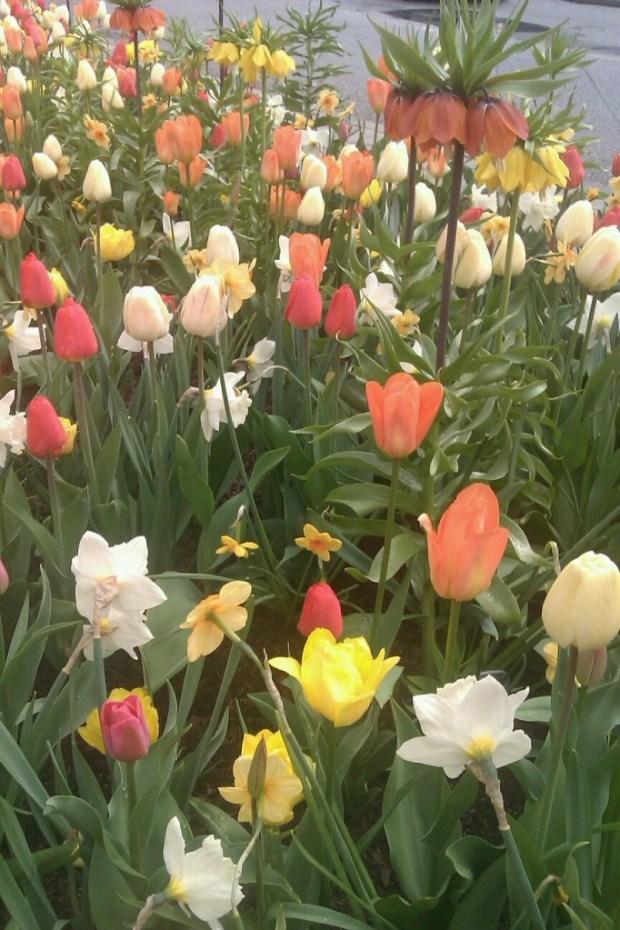 Tulpaner på Sergelstorg