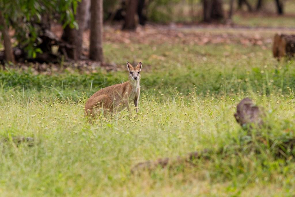 kakadu-kangourou
