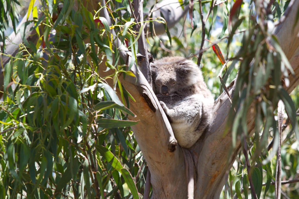 great-ocean-road-kennett-river-koala