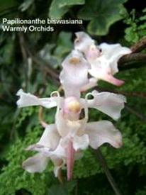 Lan cành giao - Lan Bướm - Papilionanthe biswasiana
