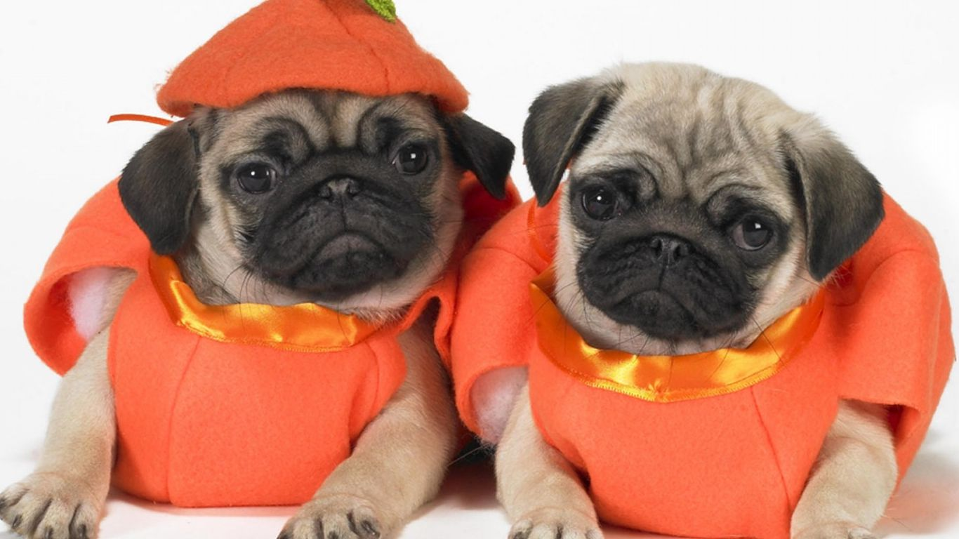 Halloween Costumes For Pugs Meningrey