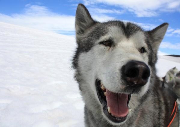 Dog Sledding...Iceland