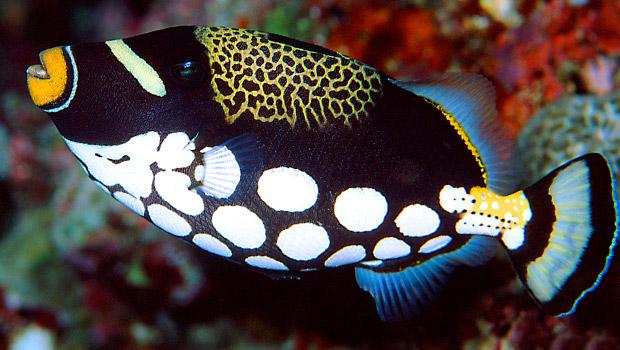 Exotic Animal Wallpaper Waikīkī Aquarium 187 Clown Triggerfish