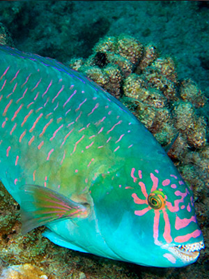 Animal Photo Wallpaper Waikīkī Aquarium 187 Parrotfish