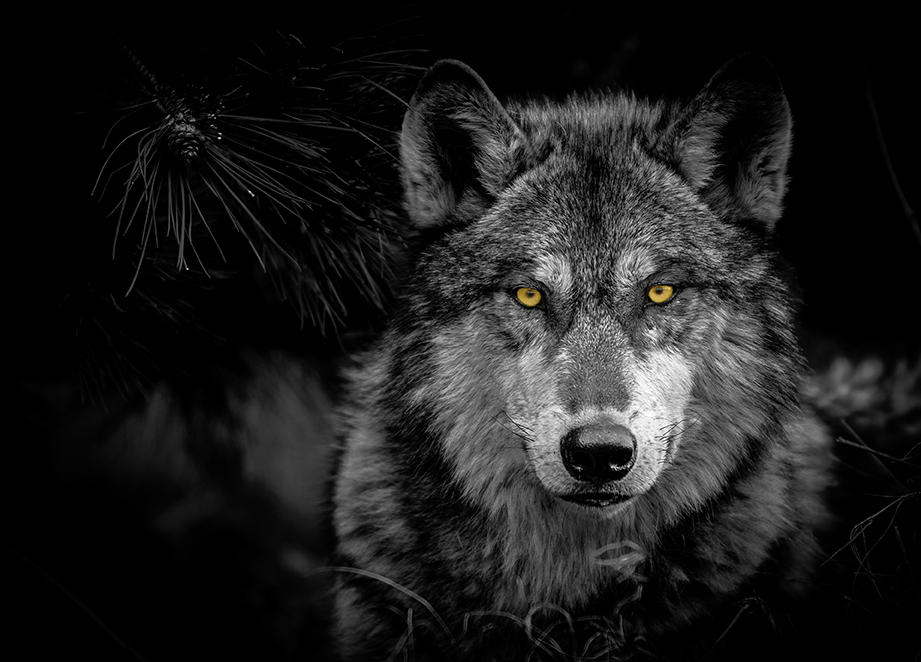 Cute Science Wallpaper Creatures Of The Night Wolves