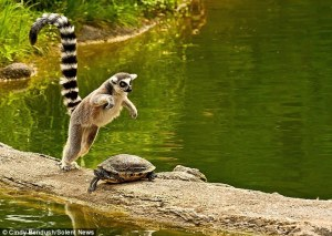 Lemur Pounce