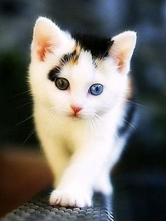 Cute Kitten Wallpapers For Phone 240x320 Mobile Phone Wallpapers Download 46 240x320