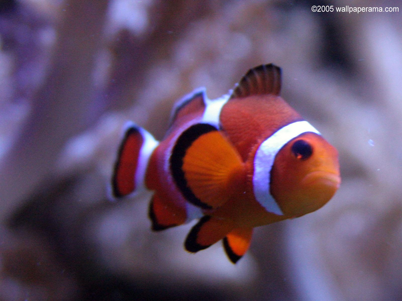 Clown Fish Hd Wallpaper Iphone 4 Clown Fish Close Up Wallpaper Free Hd Backgrounds Images