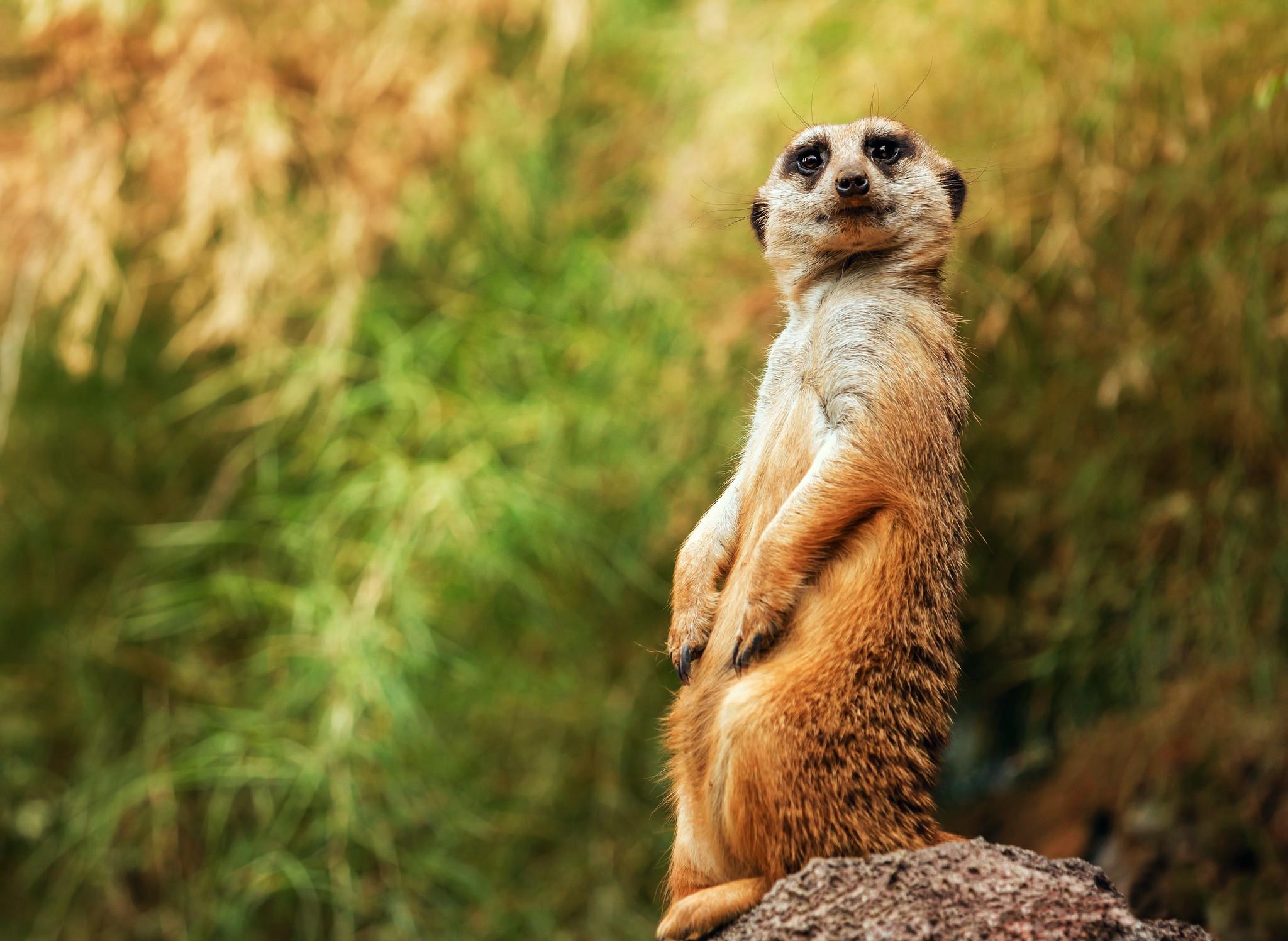 Cute Baby Girl Hd Wallpapers 1080p Meerkats Posture Wallpaper Animals Wallpaper Better
