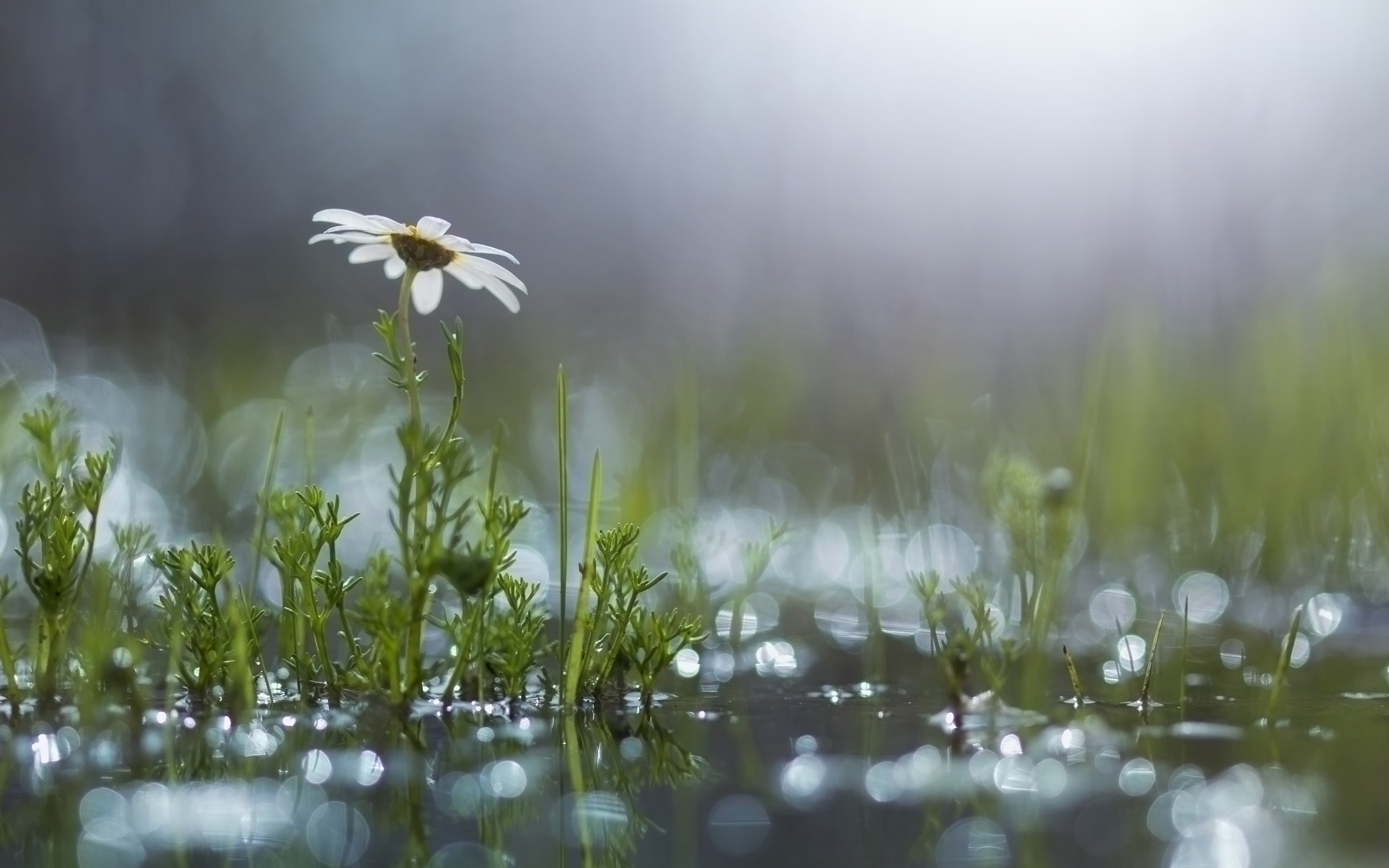 Fall Daisy Wallpaper Grass White Flower Daisy Puddle After The Rain