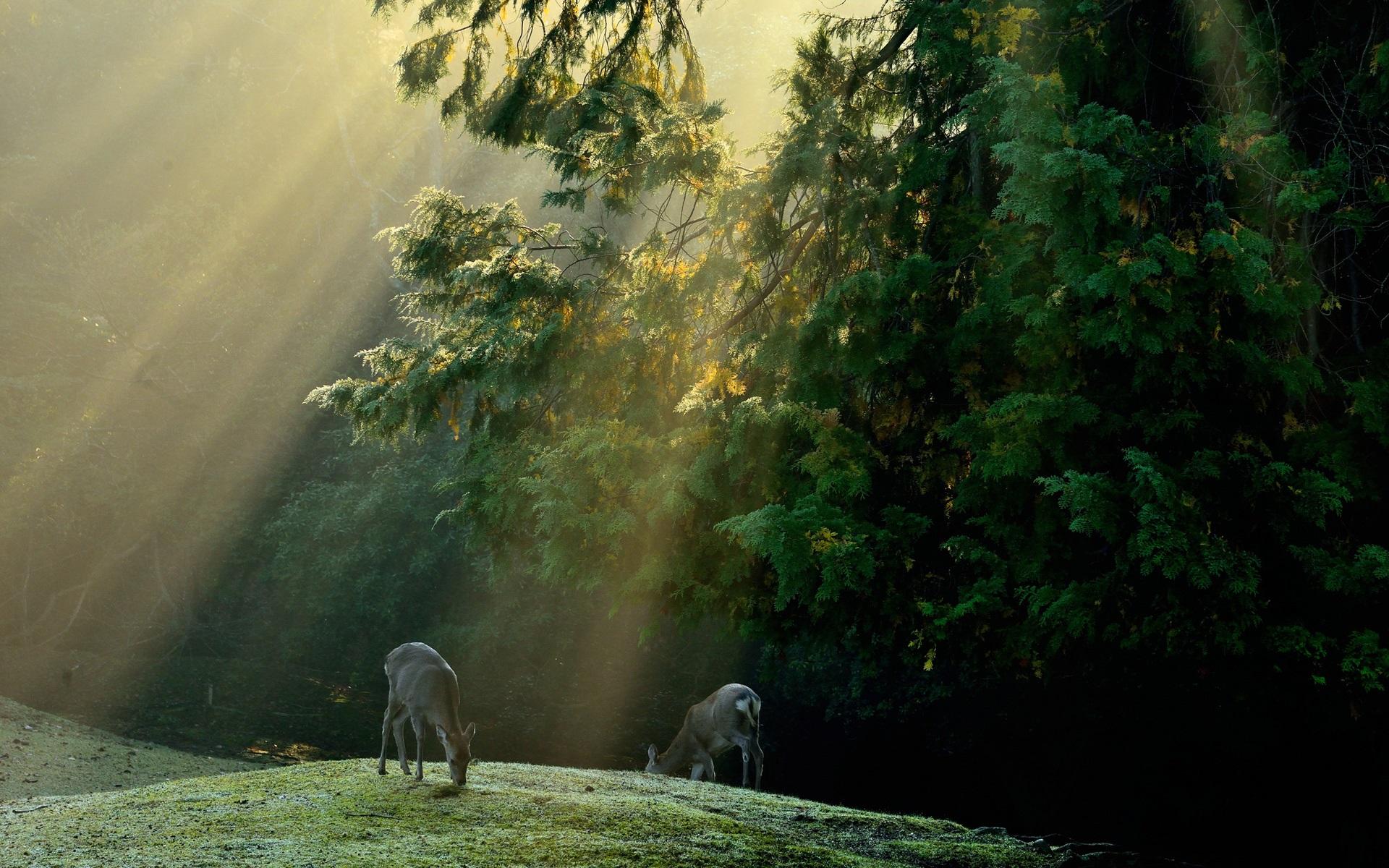 3d Apple Wallpaper Hd 1080p Download Forest Trees Meadow Deer Sun Rays Wallpaper Nature