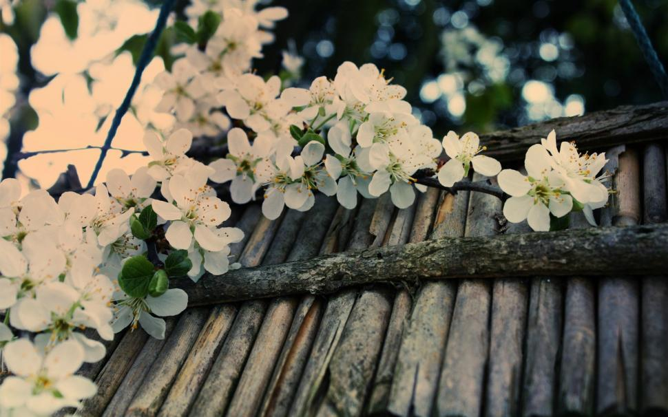 Flowers Cherry Blossom HD wallpaper nature and landscape - cherry blossom animated