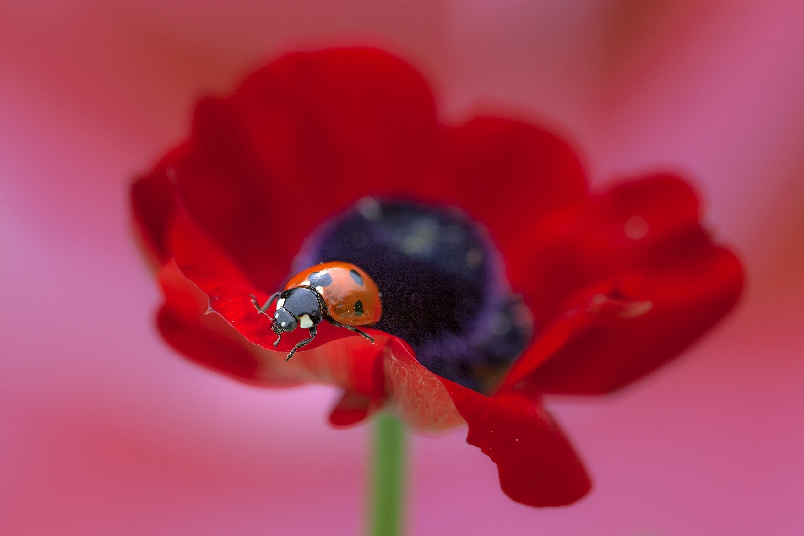 Cute Poppy 1080p Wallpaper Ladybug On Flower Wallpaper Nature And Landscape