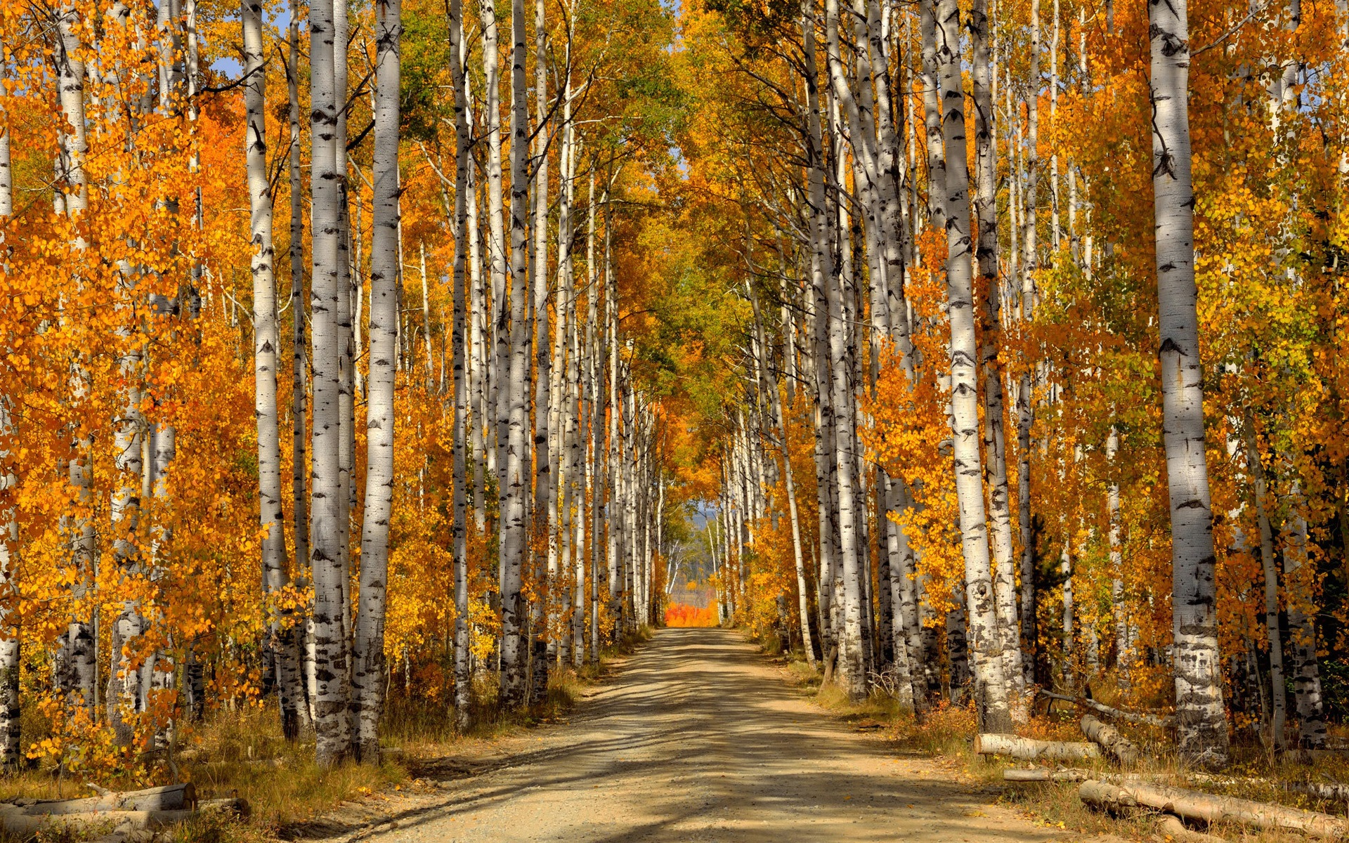 Fall Walk Wallpaper Forest Trees Birch Leaves Autumn Road Wallpaper