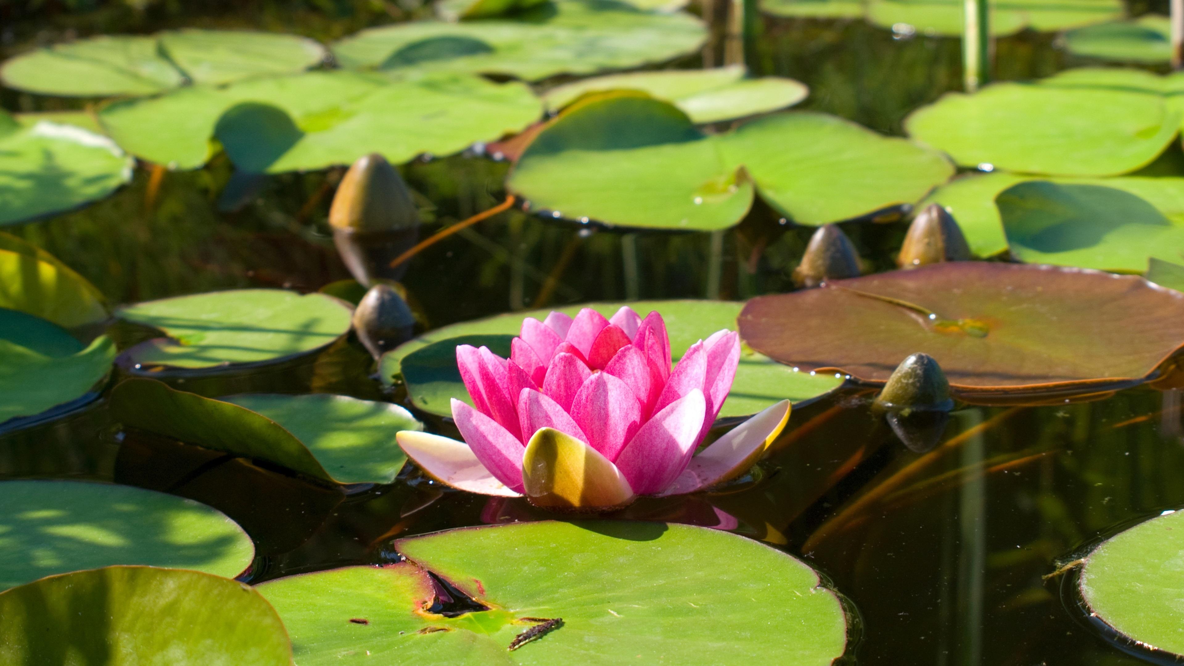 Buddha Hd Wallpaper 1080p Pink Water Lily Lotus Pond Water Leaves Wallpaper