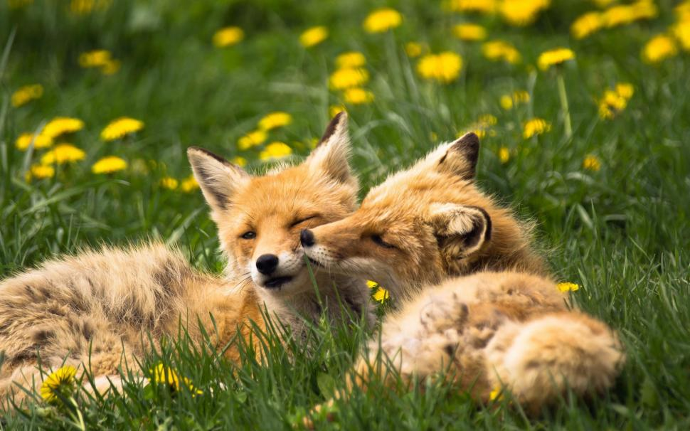 Cute Twins Baby Hd Wallpaper Two Foxes Animals Grass Summer Wallpaper Animals