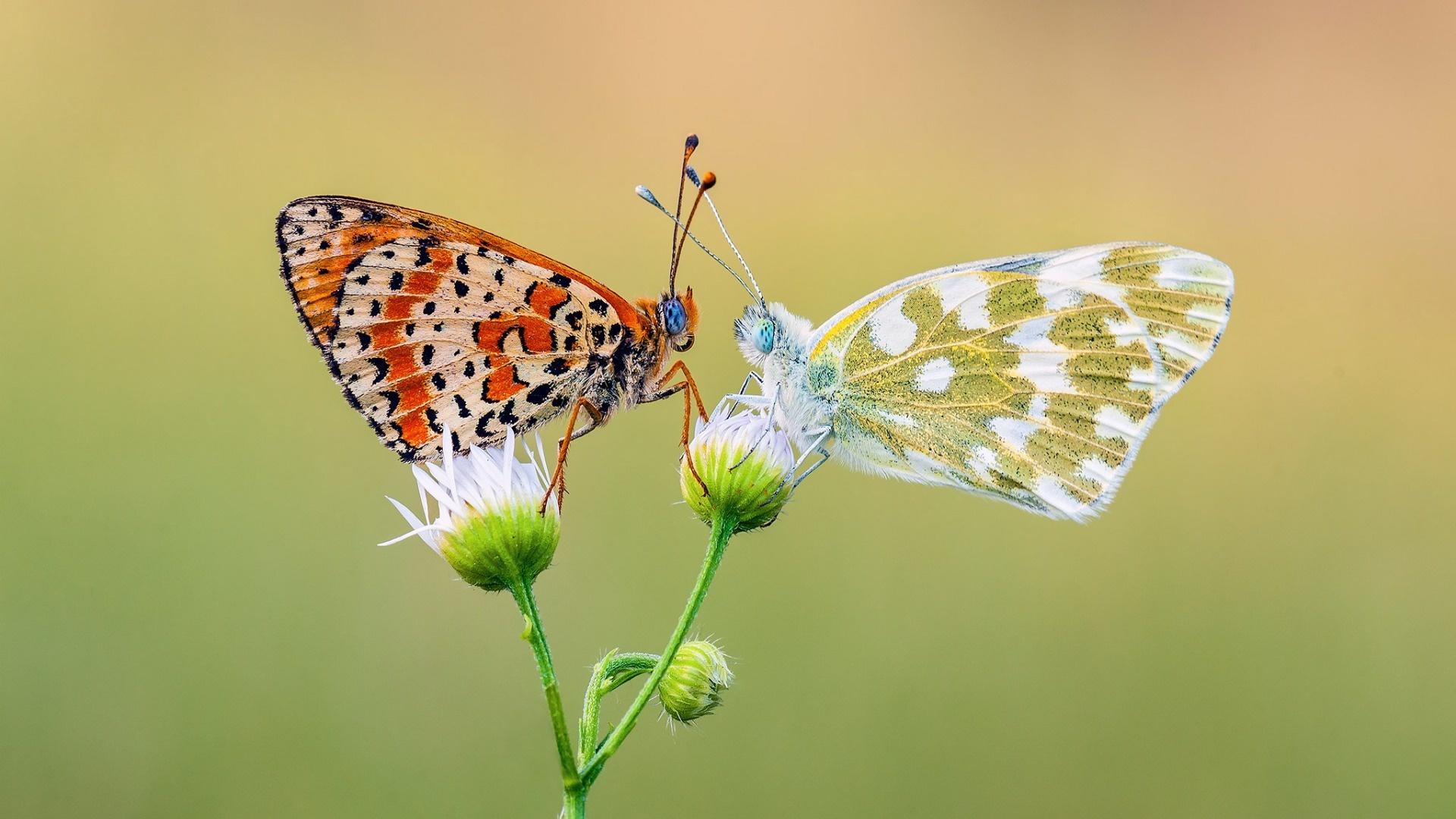 Hd Wallpapers Brands Logos Two Butterfly Romance Wallpaper Animals Wallpaper Better