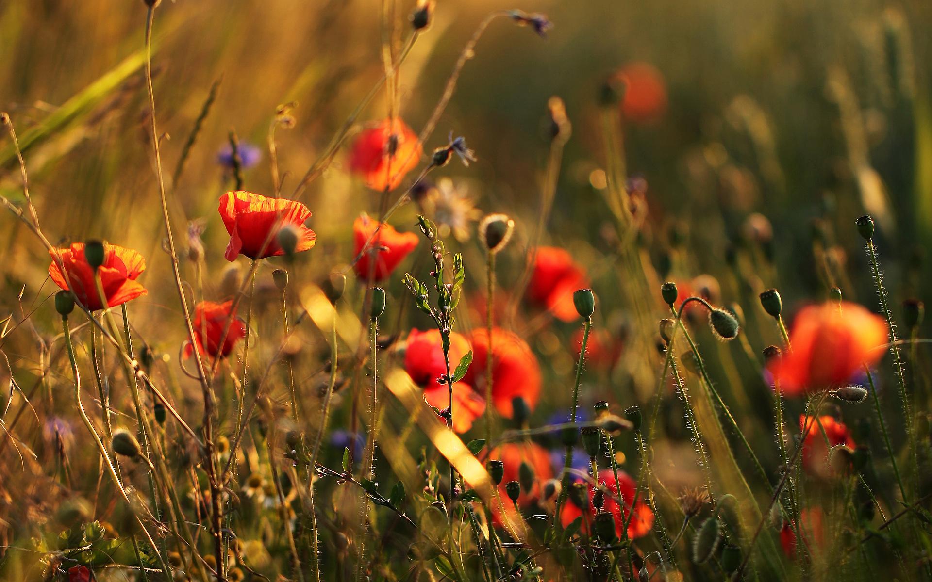 Cute Poppy 1080p Wallpaper Blumenwiese Wallpaper Nature And Landscape Wallpaper