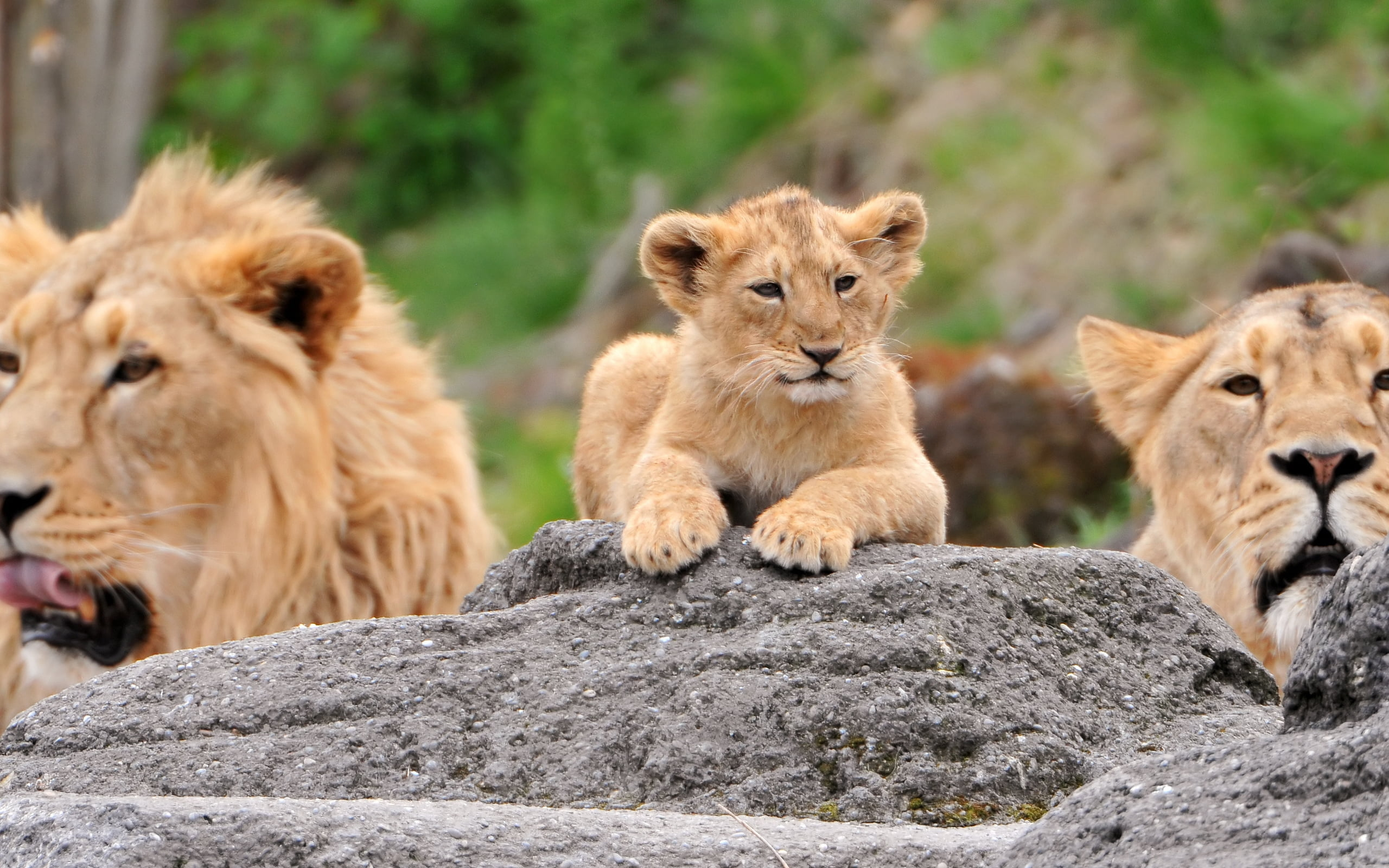 Quotes Wallpaper For Iphone 5c Brown Lion Lioness And Cub On Grey Rock At Daytime Hd