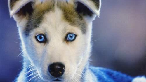 Medium Of Blue Eyed Dogs
