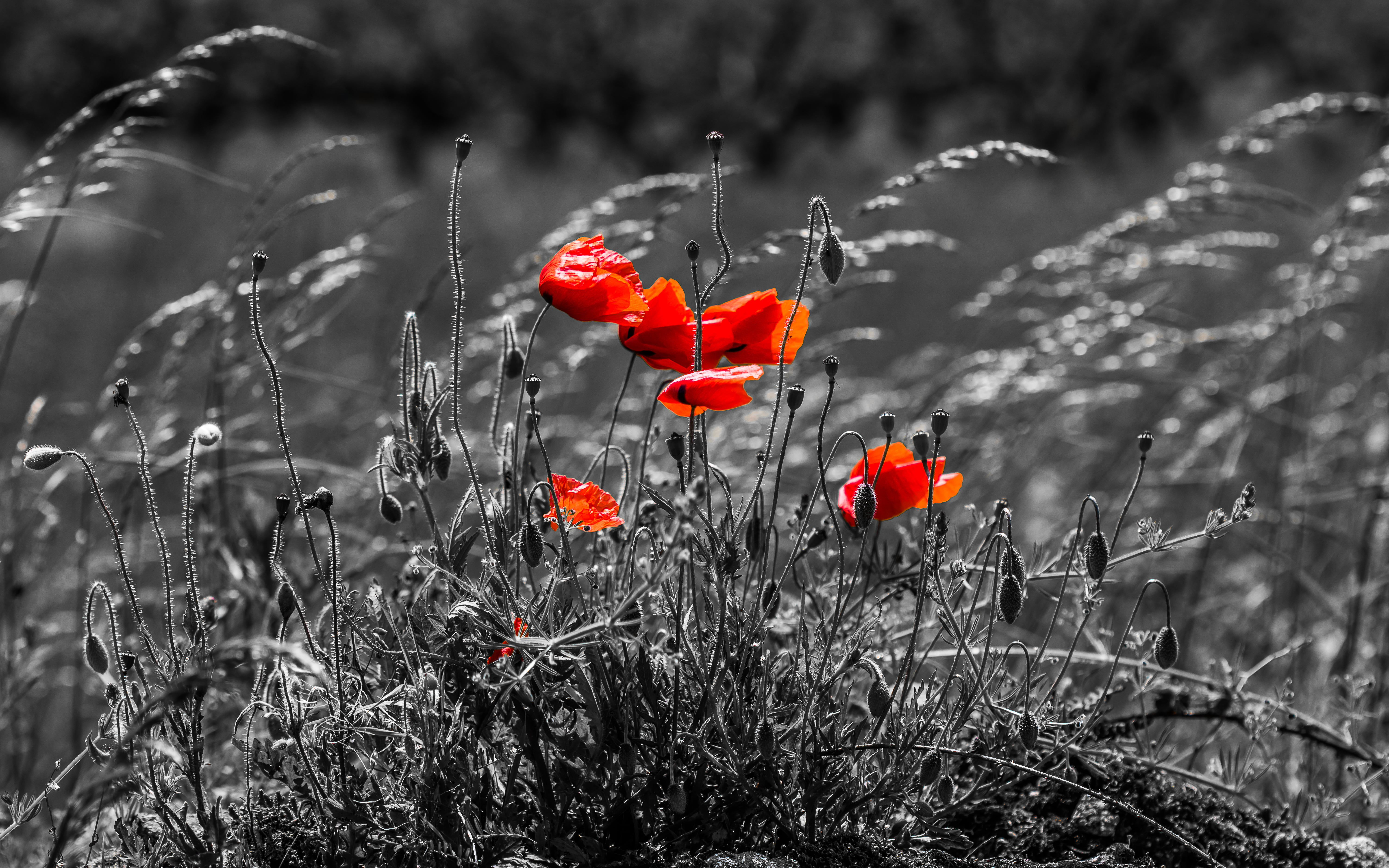 Poppy Wallpaper For Iphone Gray Scale Photo Of Red Flowers Hd Wallpaper Wallpaper Flare