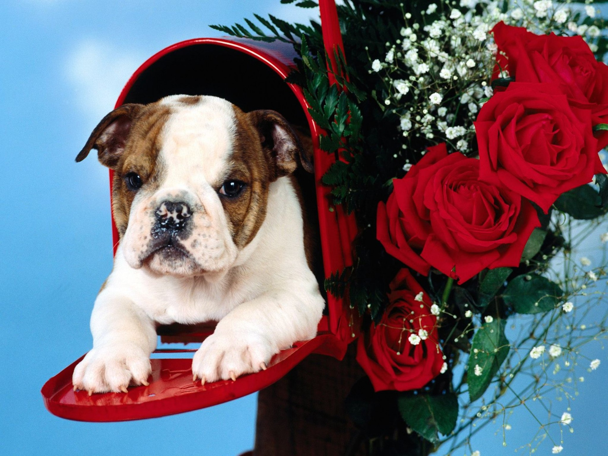 Free Download Cute Baby Wallpaper For Pc Cute English Bulldog Puppy Wallpaper Free Hd Downloads
