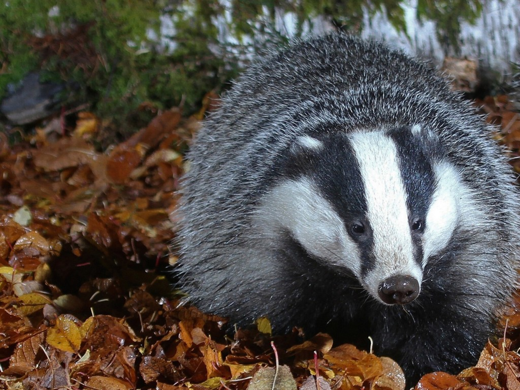 Cute Wallpapers Ipad App European Badger Wallpaper Free Hd Animal Images
