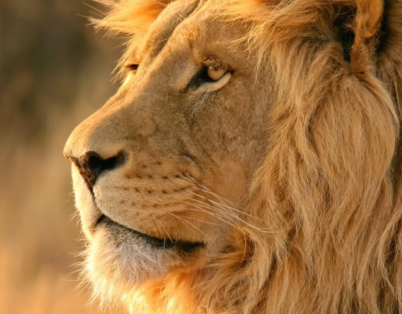 Free 3d Flower Wallpaper African Lion Safari Wallpaper Free Lion Downloads