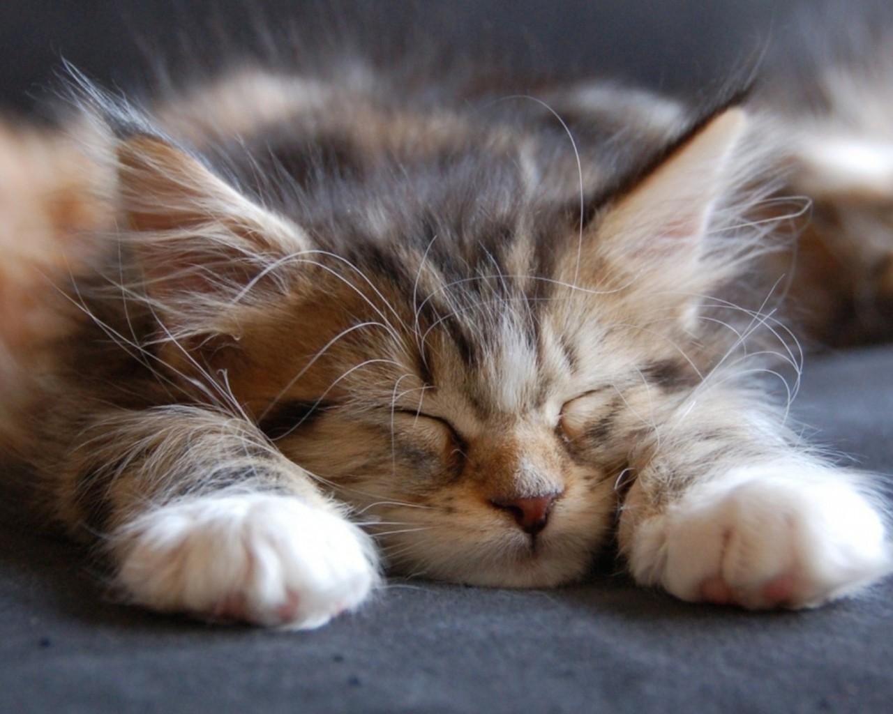 Cute Cat Wallpapers High Resolution Cute Maine Coon Kitten Sleeping Wallpaper Hd Free