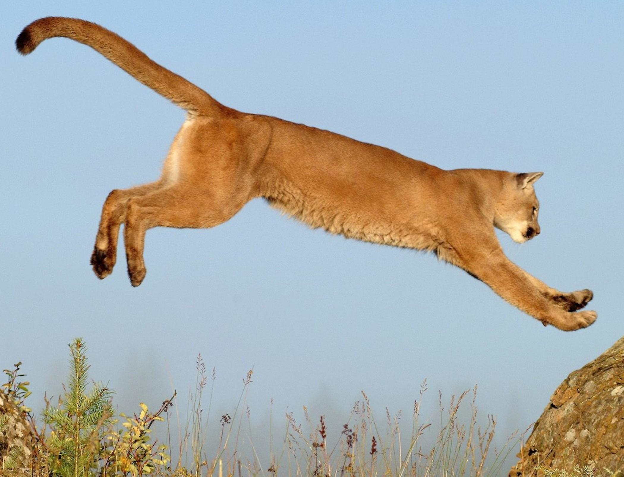 3d Mirror Wallpaper Leaping Cougar Wallpaper Free Hd Big Cat Backgrounds