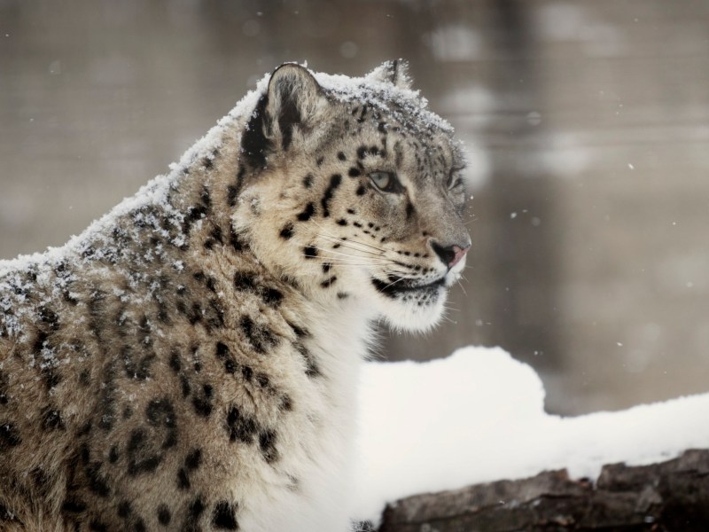 Fullsize Of Snow Leopard Wallpaper Large