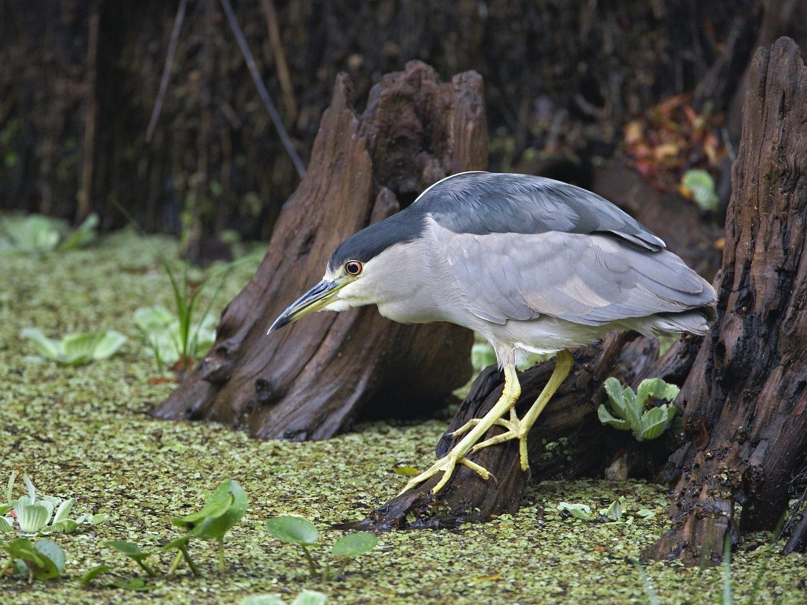 Cars Wallpaper Hd Lambo Ferrari Black Crowned Night Heron Fishing Corkscrew Swamp