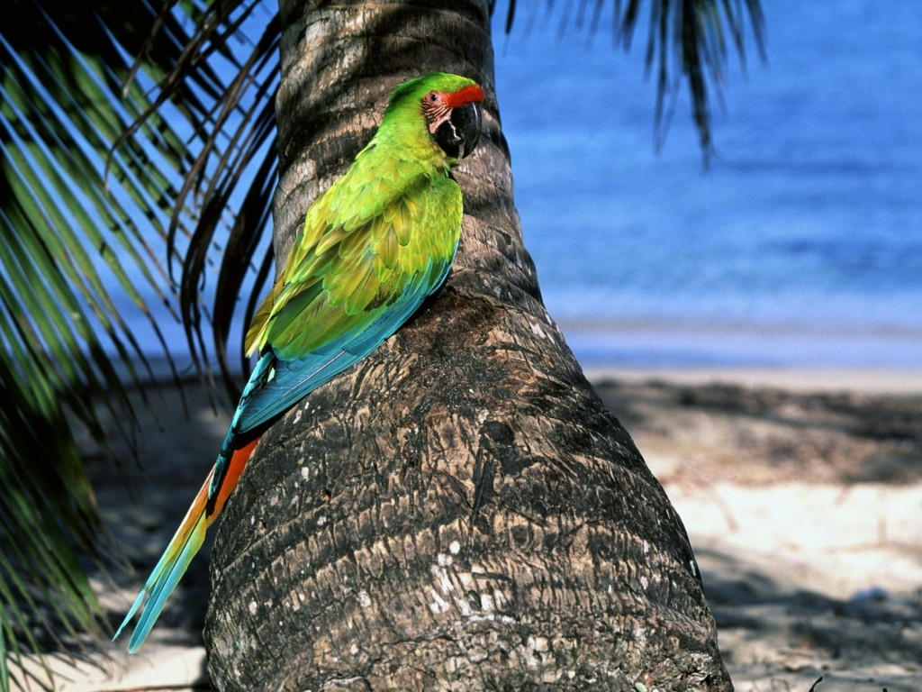 Fighter Fish Hd Wallpaper Download Great Green Macaw Wallpapergeeks Com