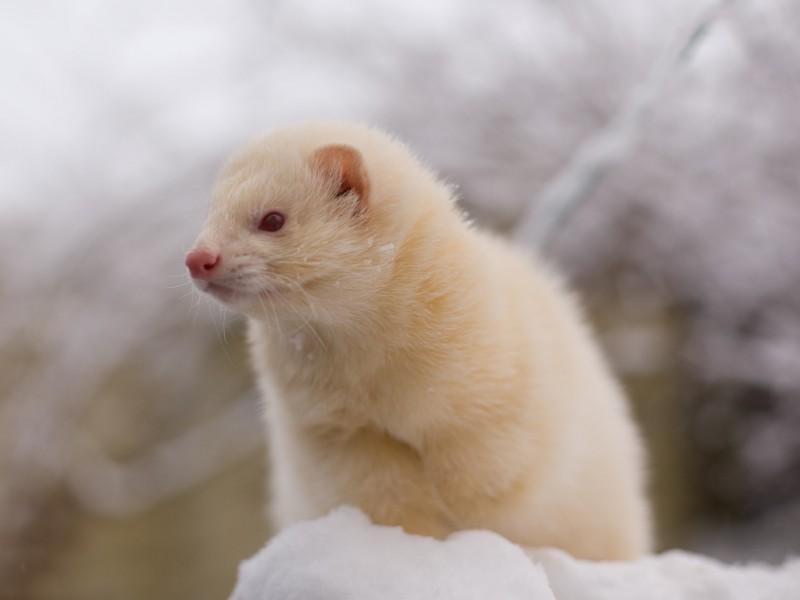 Ferret Wallpaper Iphone Albino Ferret Snow Wallpaper Free Ferret Downloads