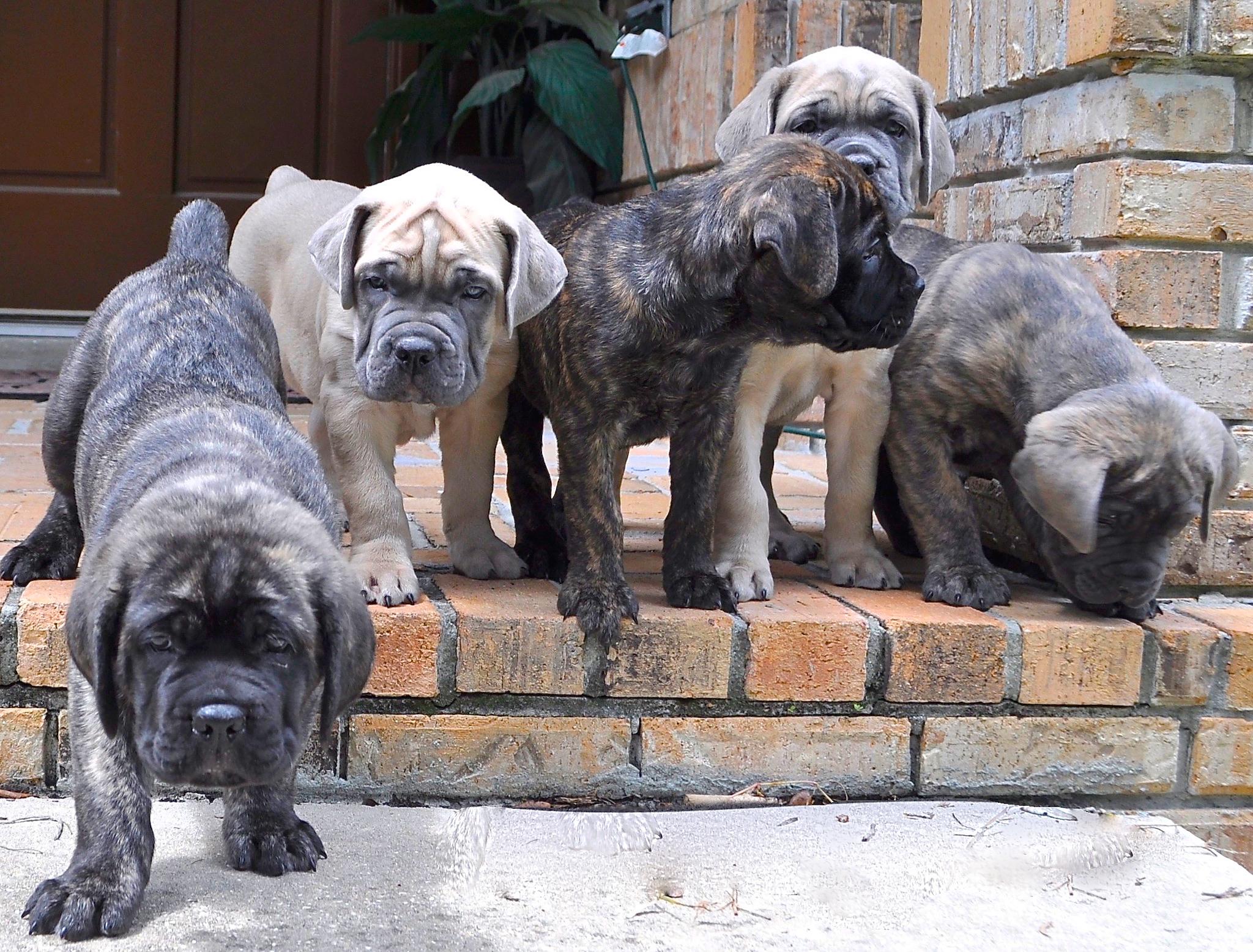 Katrina 3d Wallpaper Cane Corso Puppies Wallpaper Free Hd Puppy Images