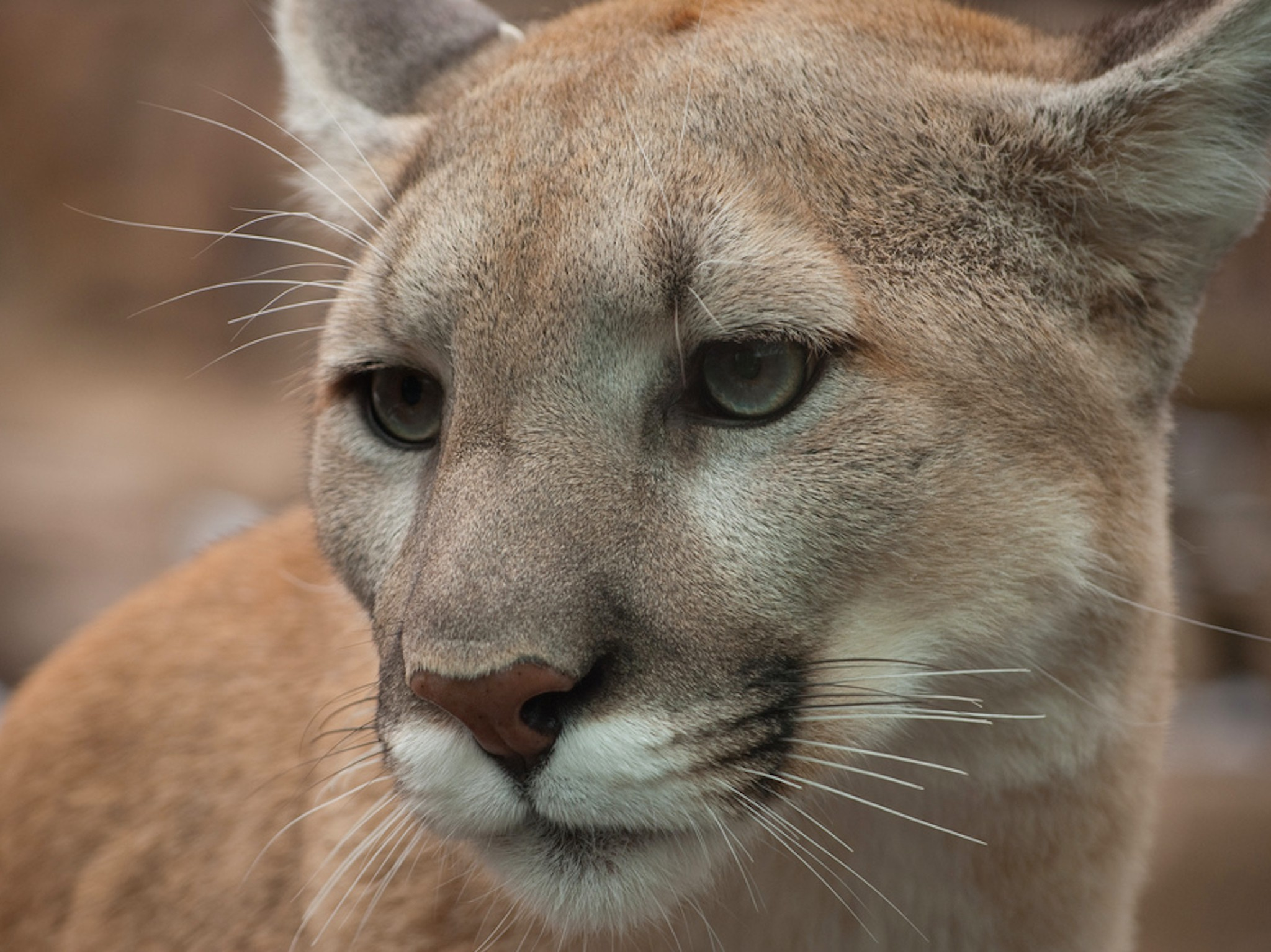 Cheetah Wallpaper Hd Handsome Puma Cat Wallpaper Free Hd Puma Image