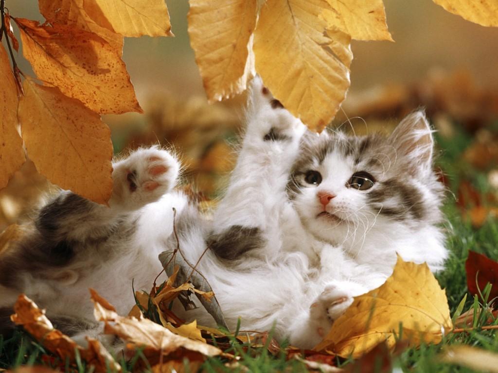 Wallpaper Hd For Desktop Full Screen Cute Baby Autumn Kitten Playing Wallpaper Free Hd Cat Images