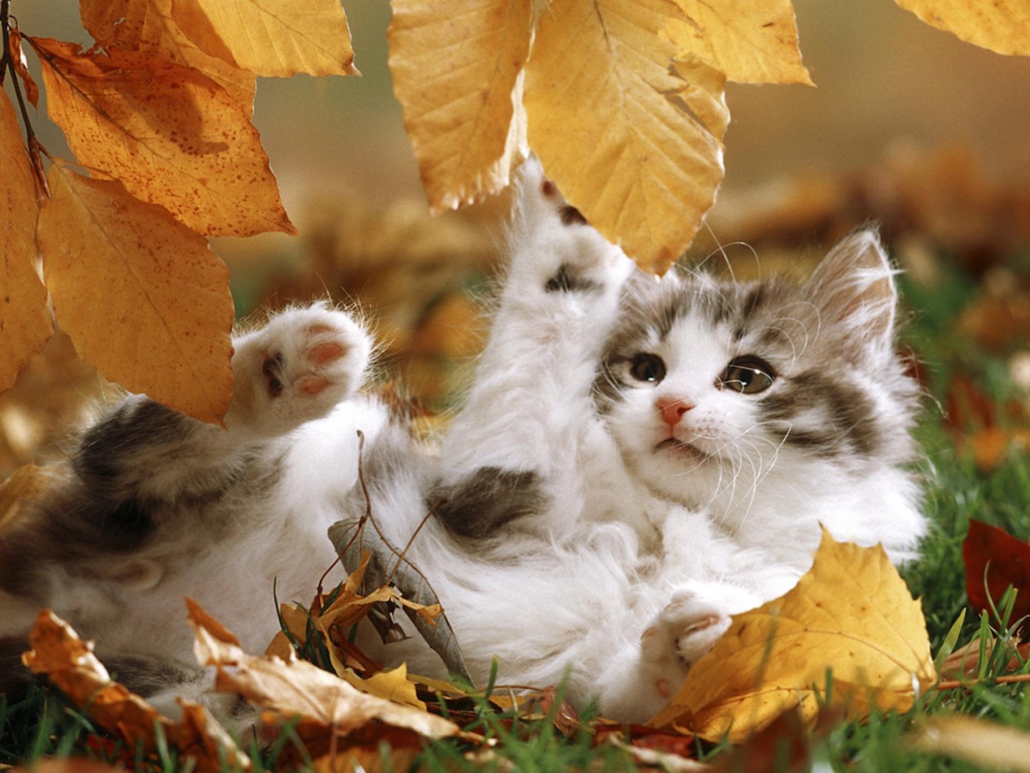 Cute Christmas Owl Desktop Wallpaper Autumn Kitten Playing Wallpaper Free Hd Cat Images