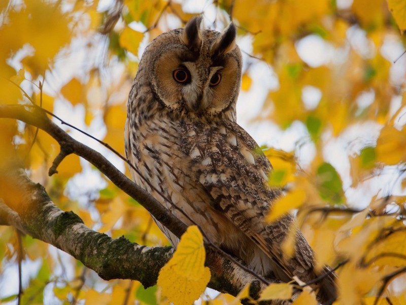 Galaxy S5 Fall Wallpaper Autumn Owl Wallpaper Free Autumn Backgrounds