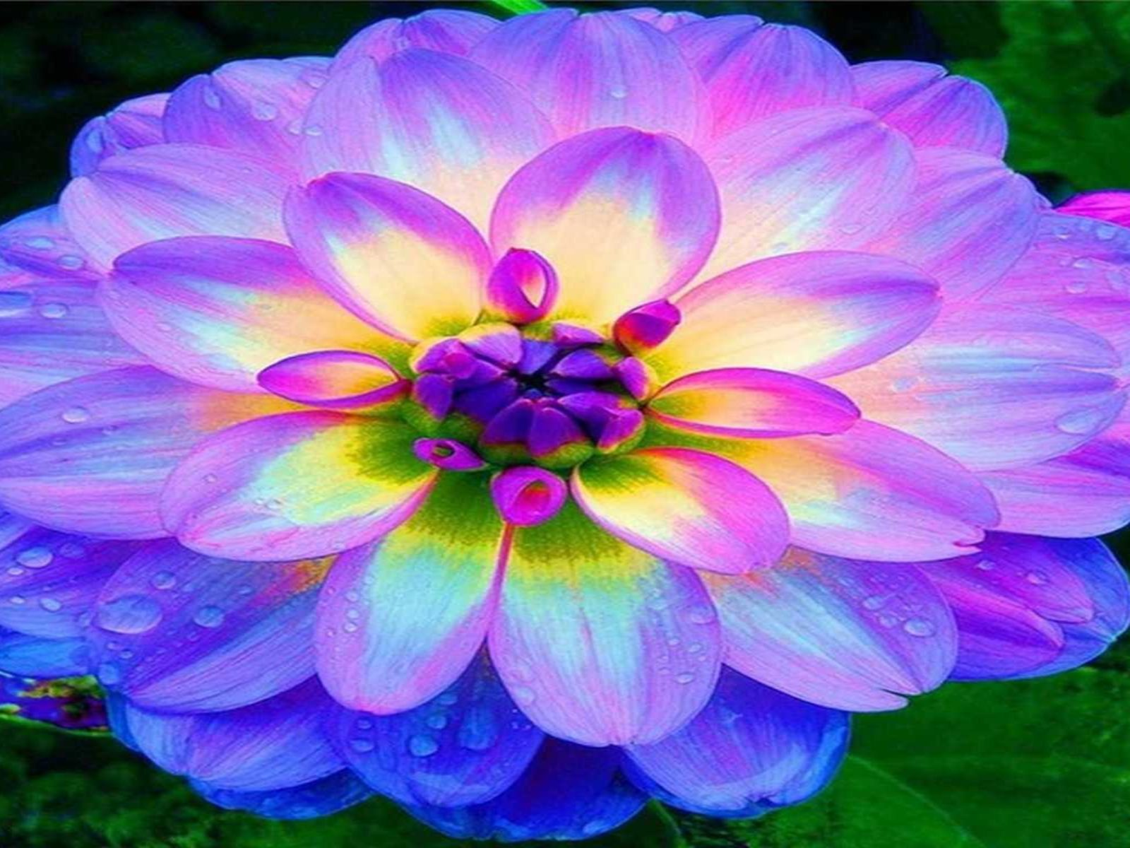 Beautiful Cars Hd Wallpapers Download Blue Dahlia Flowers Hd Wallpapers Wallpapers13 Com