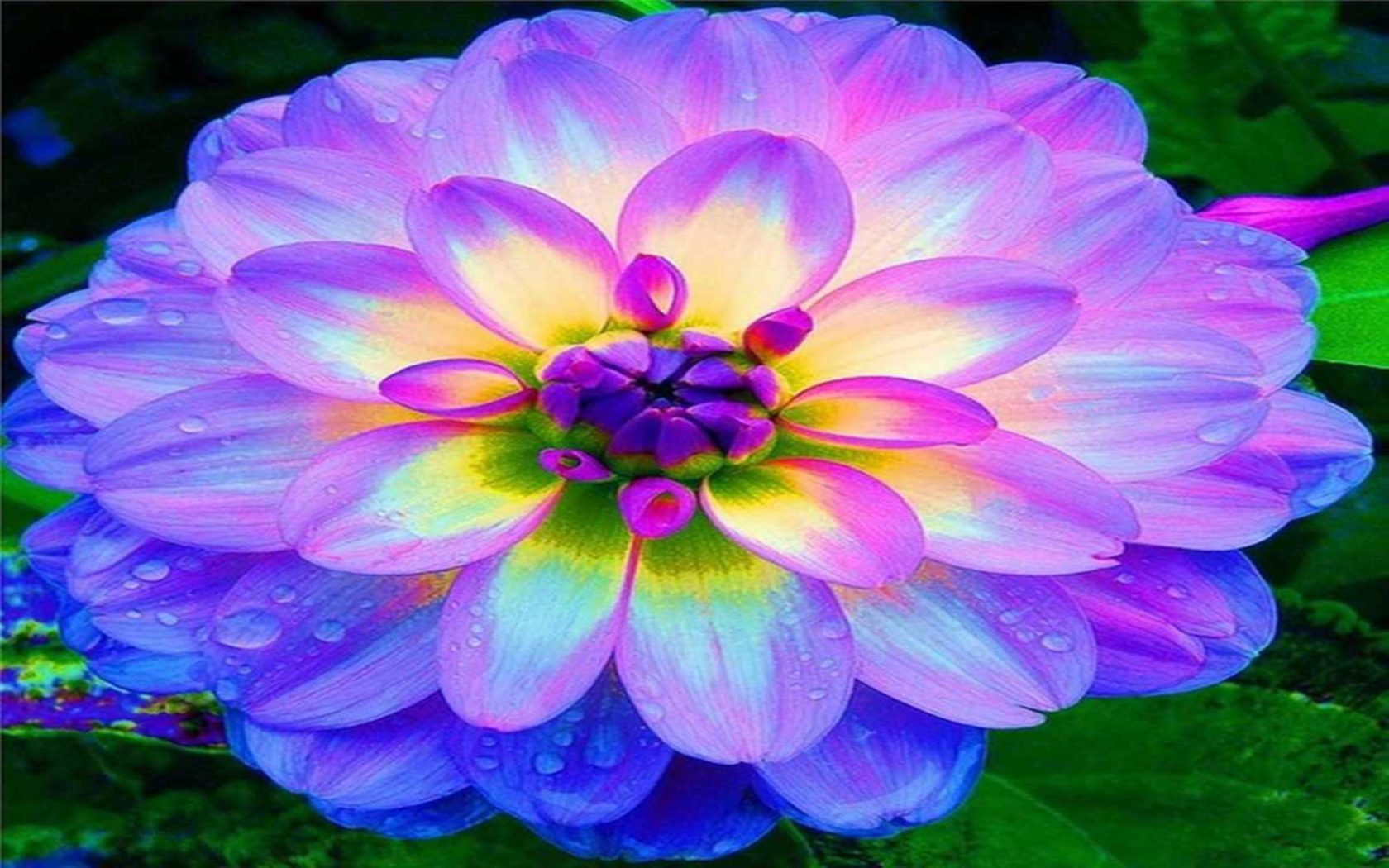 Iphone Happy New Year Wallpaper Blue Dahlia Flowers Hd Wallpapers Wallpapers13 Com
