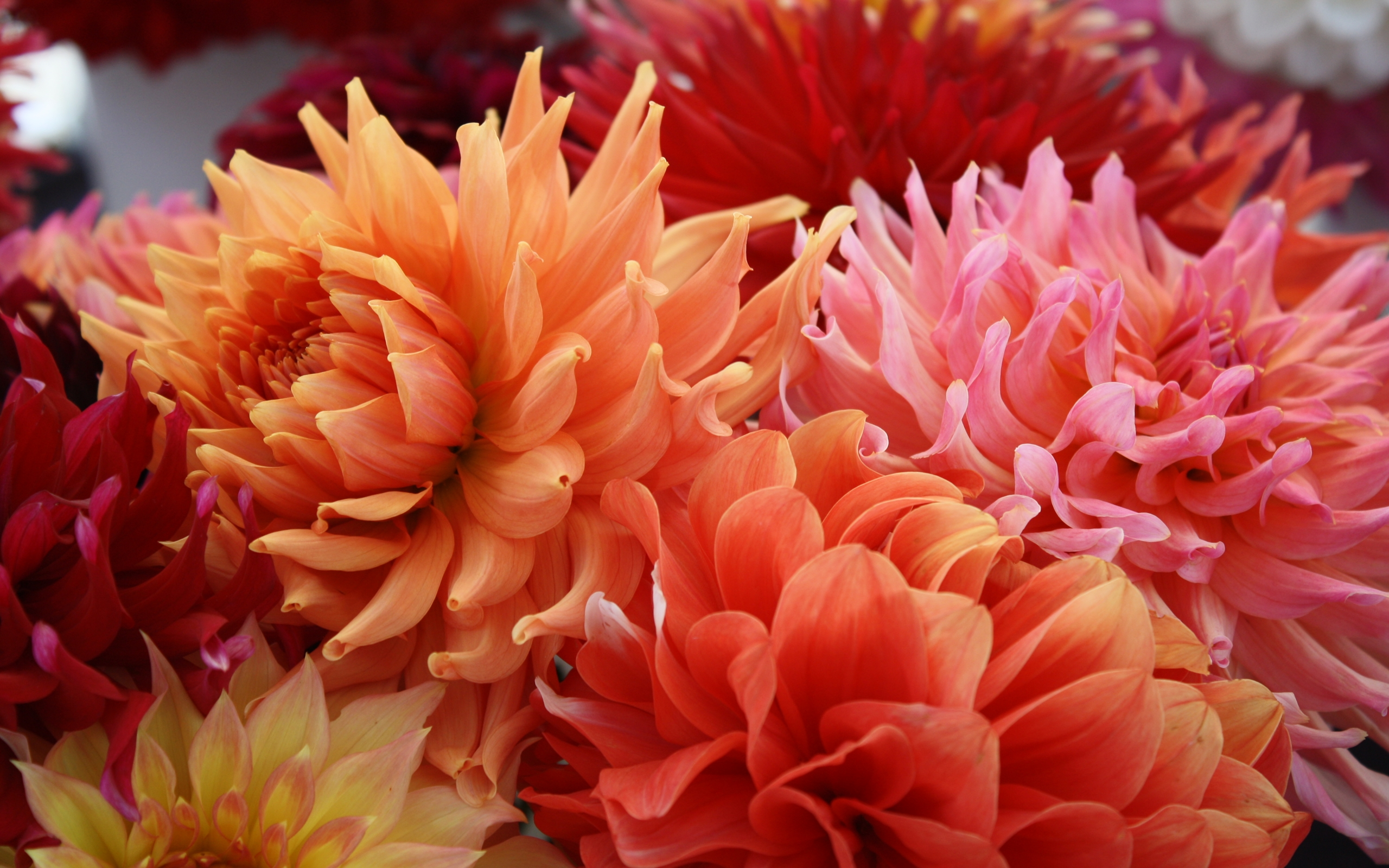 Hd Fall Wallpap Dahlias Flowers Background Wallpapers13 Com