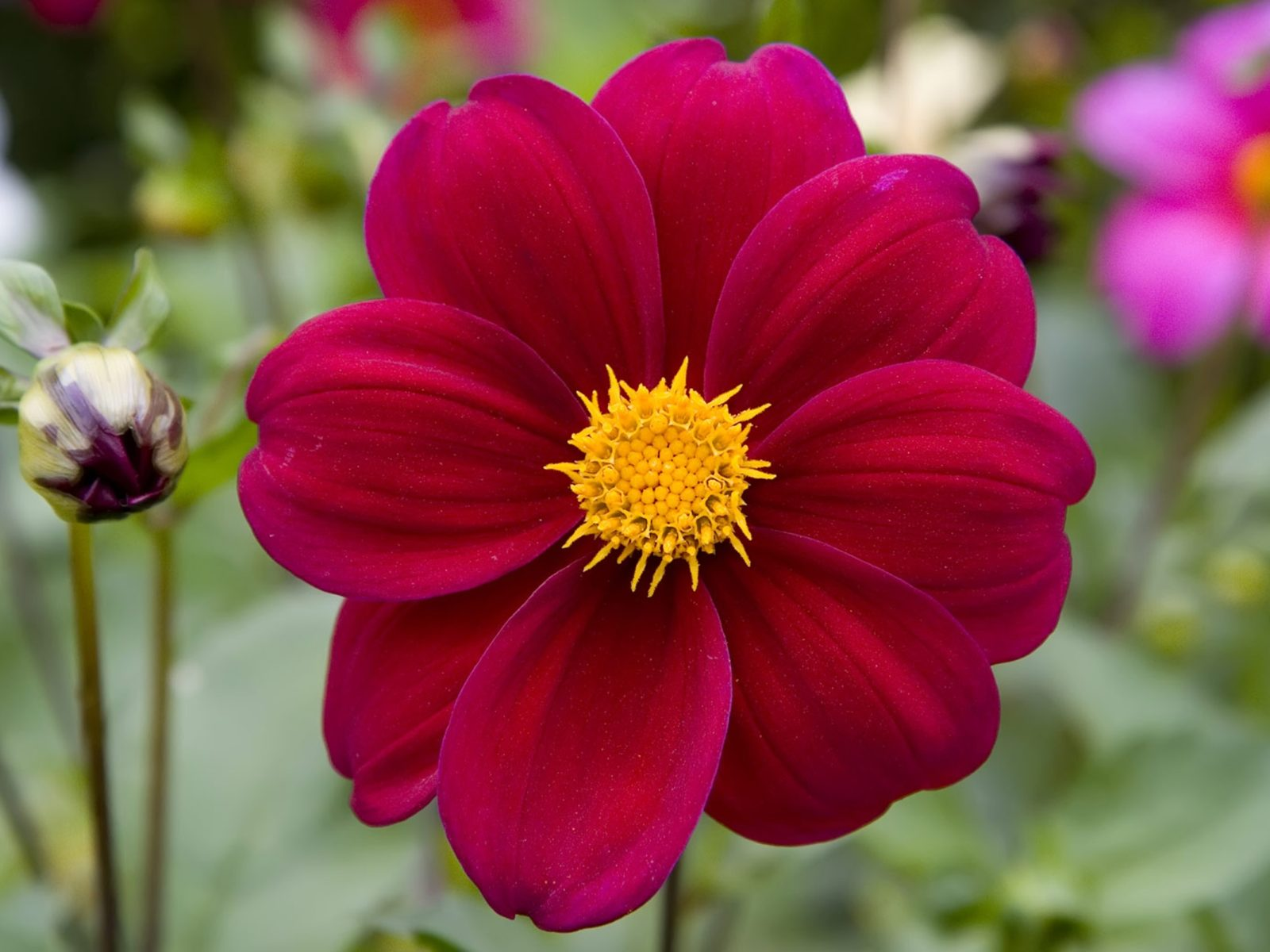The Flash Iphone Wallpaper Deep Red Dahlia 74341 Wallpapers13 Com