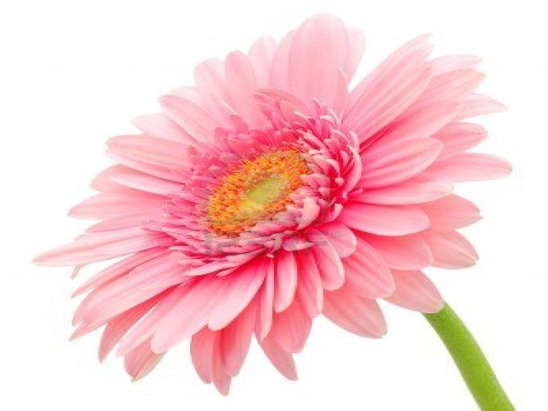 Pretty Wallpapers Rose Quotes Gerbera Daisy Flower Wallpaper 2 Wallpapers13 Com