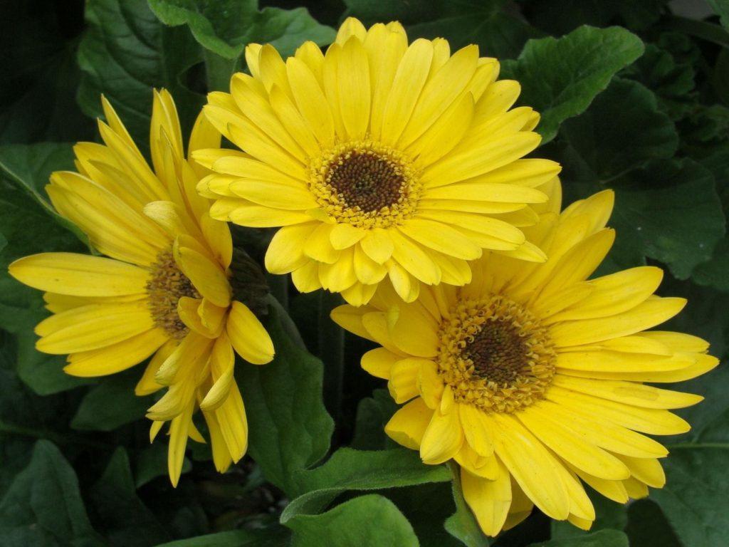 Best Black Wallpaper For Iphone Gerbera Flowers Yellow Leaves Flowerbed Wallpapers